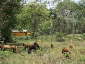 Sistema silvopastoril de ganado menor,